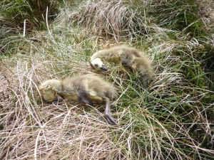 Dead Goslings